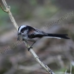 LONG TAILED TIT NEST BUILDING