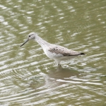 GREENSHANK ANGLESEY