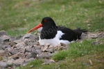 OYSTER CATCHERS NEST PERTSHIRE
