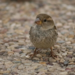 FEMALE SPARROW