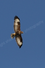 HUNTING BUZZARD ISLE OF MULL
